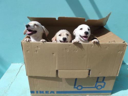 Ikea pups